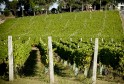 Moorilla vineyard