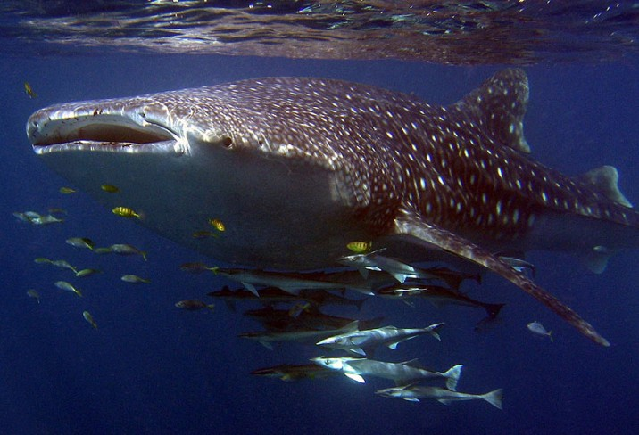 Mr & Mrs Smith - Whale Shark