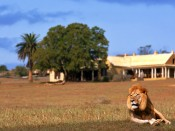 0000041124_lion-lying-infront-of-lodge